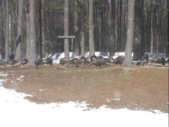 My mother, bless her, feeds everything that comes to her house.  Even the turkeys.  We counted over 60 of them in the back year, scratching and bickering over the seed that she scattered out there.